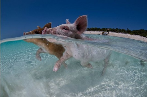 swimming pigs 3