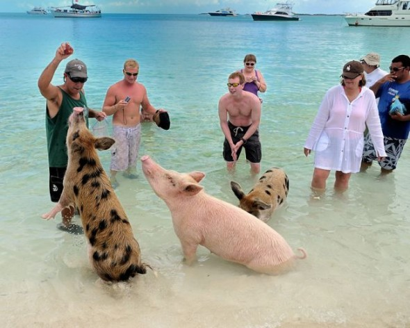 swimming pigs 5